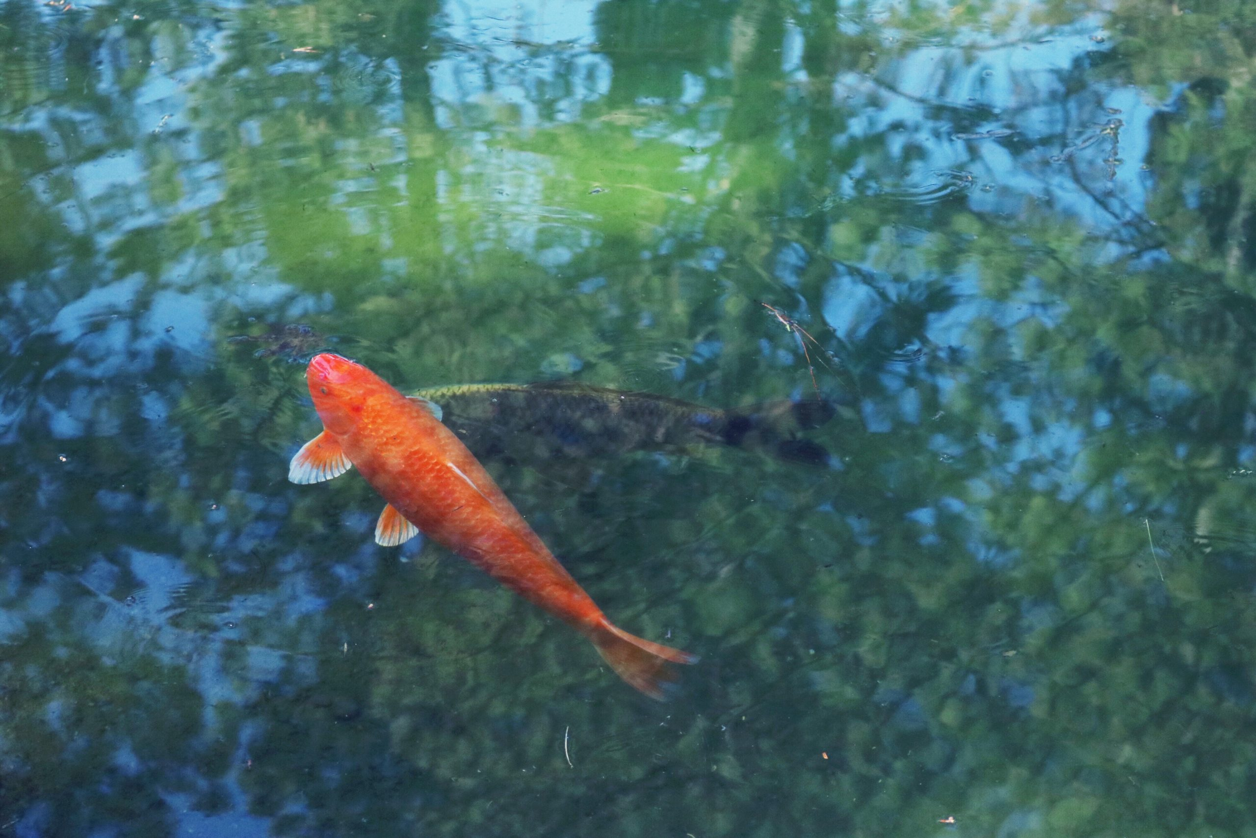 Single koi fish - Product Owners are more effective when they can focus on value